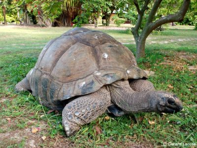 phoca_thumb_l_IMG14-Giant-Tortoise