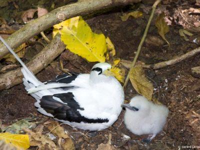phoca_thumb_l_IMG5-Tropic-Bird--Chick