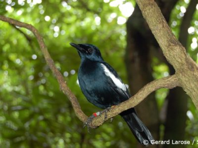 Endemic-Magpie-Robin