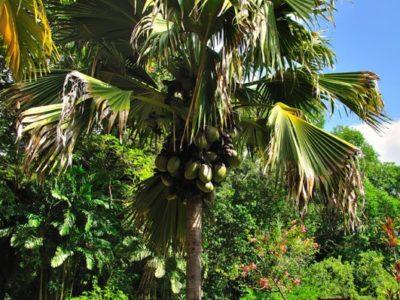 Female-Coco-De-Mer-tree