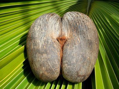 Praslin Island-Female-Coco-De-Mer-Nut