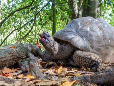 Cousin Island Tortoise