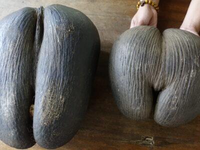 Coco de Mer Nut